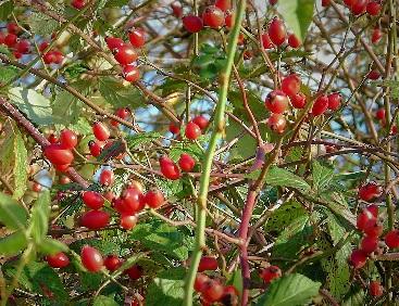wild-rose-Rosa Canina-bio-organic