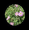 CISTUS-creticus-incanus-ladania-kistos-organic-bio